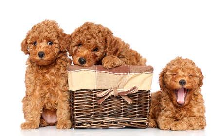 miniature breed: Perritos del caniche de juguete que descansan sobre un fondo blanco Foto de archivo