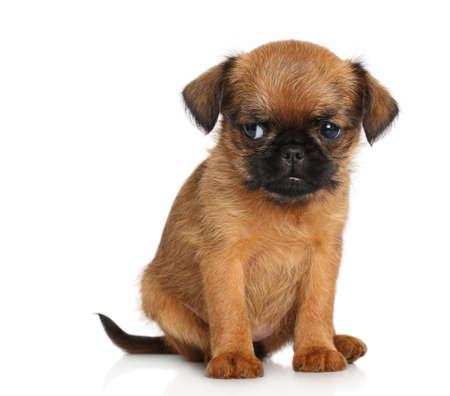 griffon bruxellois: Griffon Bruxellois puppy on a white background
