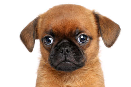 brussels griffon: Griffon dog puppy. Portrait on a white background