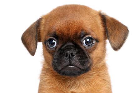 griffon bruxellois: Griffon dog puppy. Portrait on a white background