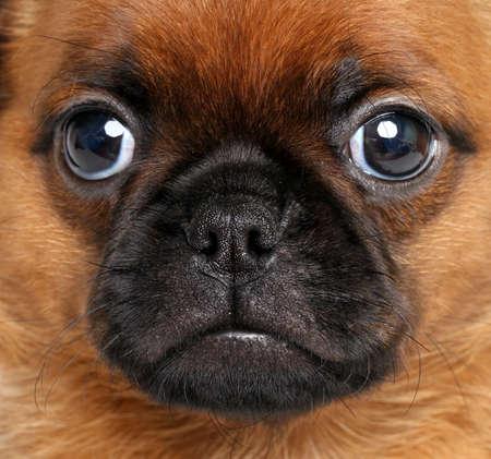 griffon bruxellois: Griffon brussels  Close-up portrait