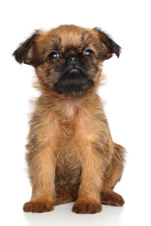 griffon bruxellois: Griffon Bruxellois puppy sits on a white background