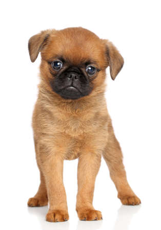 brussels griffon: Petit brabancon puppy posing on a white background