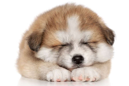 pure breed: Japanese Akita-inu puppy sleep over white background