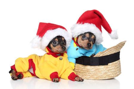 toy terrier: Toy Terrier cuccioli in natale di Natale cappelli posa su uno sfondo bianco