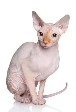 esfinge: Sphynx gato sin pelo posando en el estudio sobre un fondo blanco