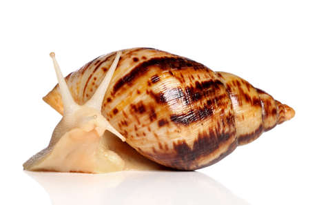 hermaphrodite: Giant African land snail Achatina posing on a white background