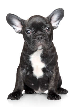 Black French bulldog puppy sits on a white background Stock Photo