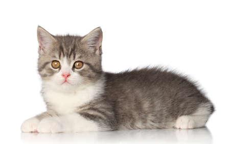 shorthair: Beautiful Scottish shorthair kitten lying on a white background Stock Photo
