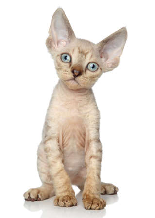 devon: Devon Rex kitten (one month) sits on a white background Stock Photo