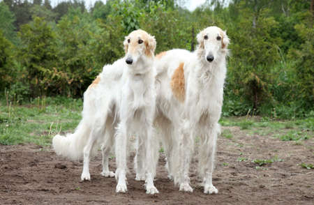 hounds: Pair of borzoi hounds on the background of nature Stock Photo