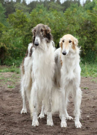 hounds: Pair of borzoi hounds stands on the background of nature