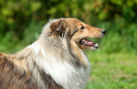 miniature collie: Long haired Shetland Sheepdog, side view. Outdoor shoot