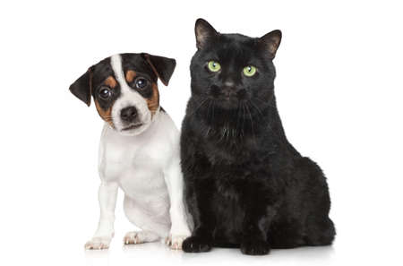 jack russel: Close-up portrait of a Jack Russel Dog and black cat on white background Stock Photo