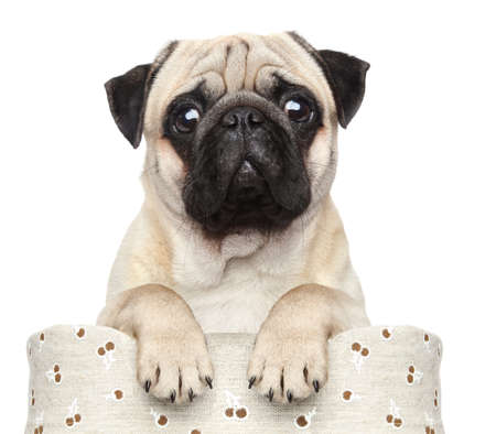 pug puppy: Pug sits in basket on a white background