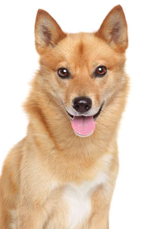 finnish: Finnish spitz (Karelian Finnish laika) portrait on a white background