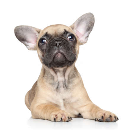 francais: Beautiful French bulldog puppy lies on white background