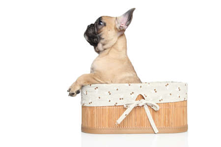 francais: French bulldog puppy in basket on a white background