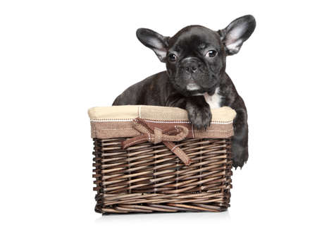 francais: Black French bulldog puppy lies in basket on a white background
