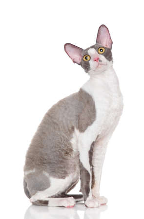 british shorthair: Cornish Rex kitten sitting on a white background Stock Photo