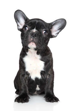 francais: Black French bulldog puppy sits on a white background Stock Photo