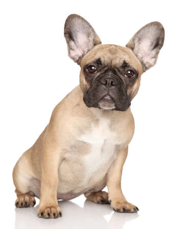 bull dog: French bulldog puppy  Portrait on a white background