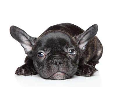 Black French bulldog puppy lies on a white background Reklamní fotografie
