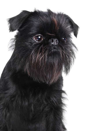 griffon bruxellois: Brussels griffon portrait on a white background, isolated