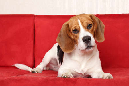 beagle: Young Beagle dog posing on red sofa