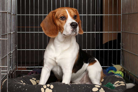 dog kennel: Sad Beagle Dog sits in cage
