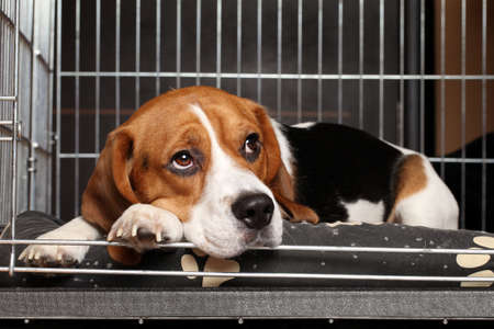 檻の中で横になっている悲しいビーグル犬