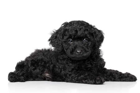 Black Toy Poodle puppy  6 week  lying on a white background