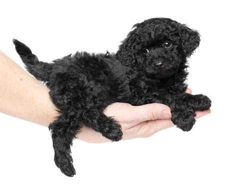 miniature breed: Negro de juguete caniche cachorro posando en la mano