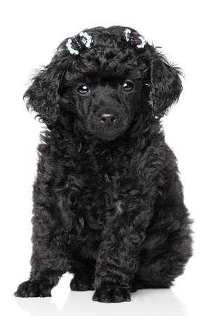 miniature breed: Negro Miniature Poodle cachorro se sienta en un fondo blanco Foto de archivo