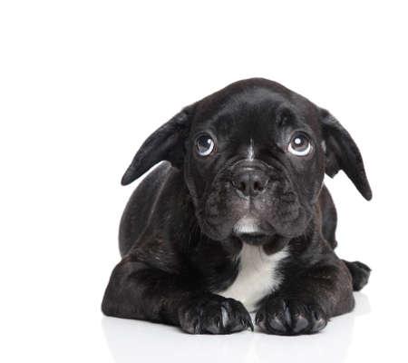 白い背景の上の怖がっているフレンチ ブルドッグ子犬