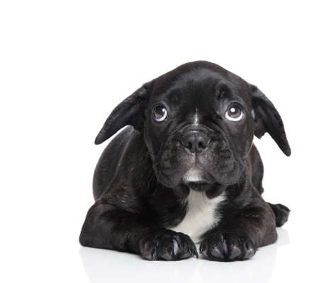 french bulldog puppy: Scared French bulldog puppy on a white background