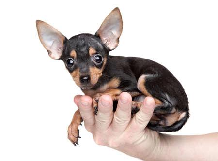 toy terrier: Toy Terrier in mano di un uomo s su uno sfondo bianco Archivio Fotografico