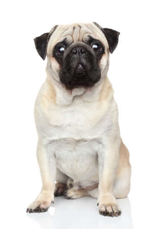dogs sitting: Pug dog sits on a white background