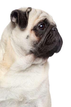 lapdog: Pug dog, side portrait on white background Stock Photo