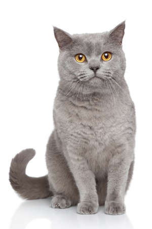 british shorthair: Portrait of British Shorthair cat sits on a white background