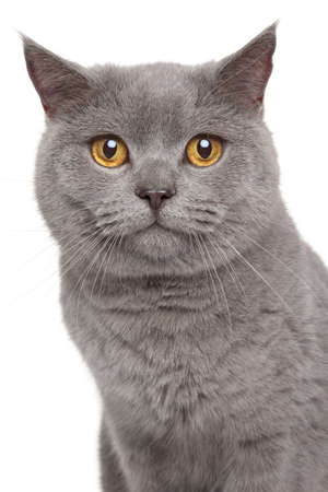 british shorthair: Portrait of British Shorthair cat on a white background Stock Photo