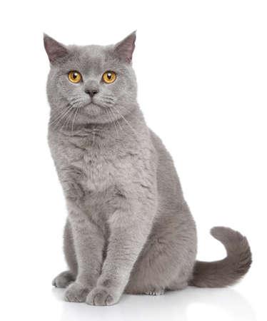 영국 쇼트 헤어 고양이의 초상화는 흰색 배경에 앉아