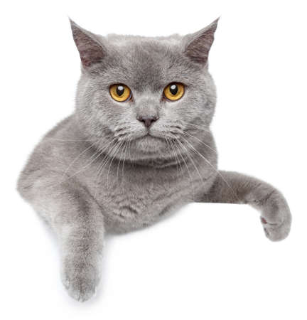british shorthair: Portrait of British Shorthair cat on a white banner