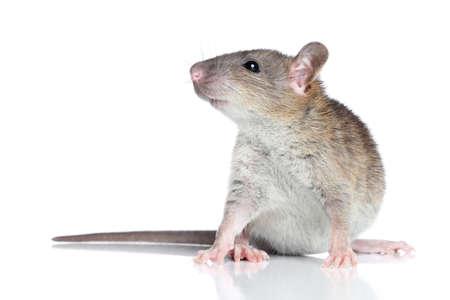 agouti: Agouti self standard rat posing on a white background Stock Photo