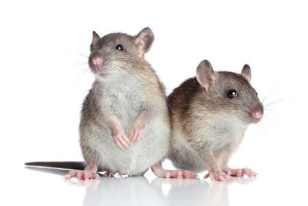rata: Dos ratas que presentan en un fondo blanco