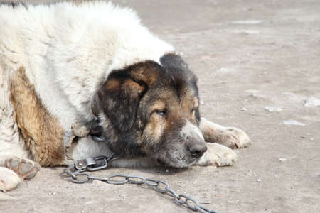 caucasian shepherd: Old, sad Caucasian Shepherd watchdog. Outdoor shoot.