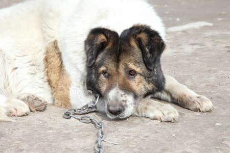 caucasian shepherd: Old, Caucasian Shepherd watchdog  Outdoor shoot
