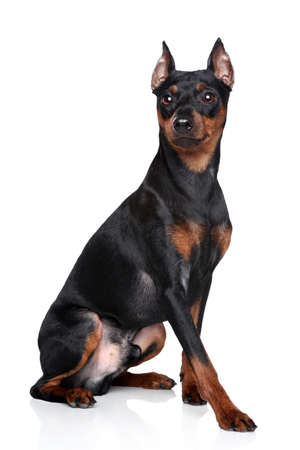 cvergpincher: Miniature Pinscher (zwerg pinscher) sits on a white background Stock Photo