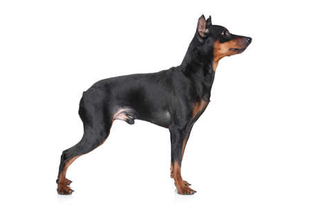 cvergpincher: Miniature Pincher  zwerg pinscher  stand on a white background