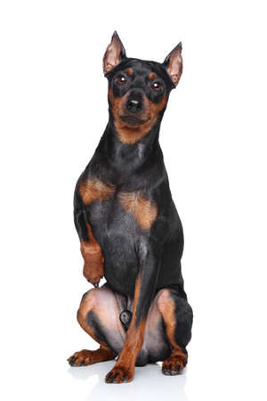 cvergpincher: Miniature Pinscher sits tight-paw on a white background